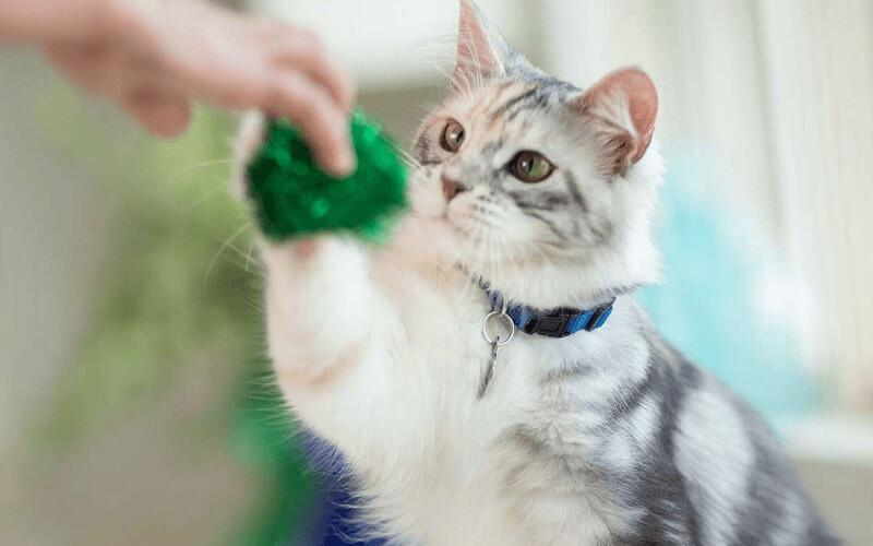 cách huấn luyện cho mèo đơn giản